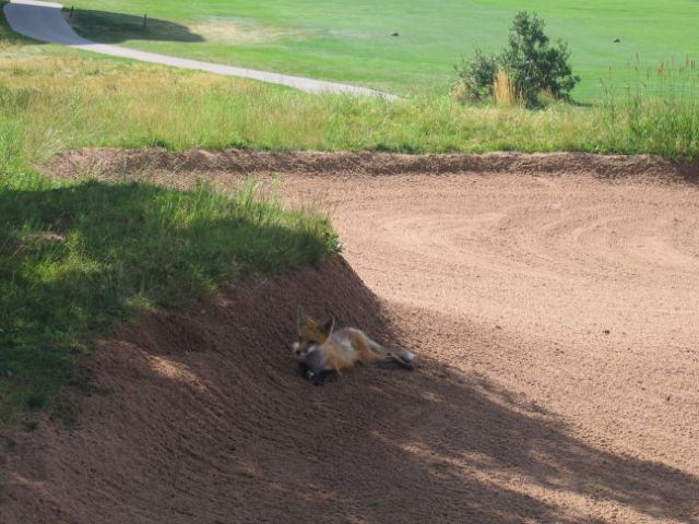 Fox laying in a sand trap